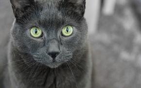 Обои взгляд, кошак, глаза, кот