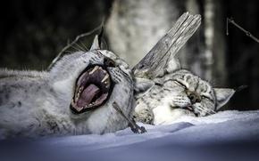 Картинка отдых, снег, зима, пасть, парочка, рысь, зевок, сон
