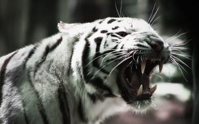 Картинка Белый тигр, альбинос, кошка, клыки, усы, white tiger, albino, cat
