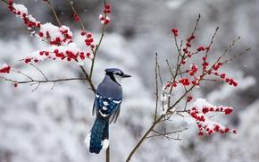 Картинка ягоды, снег, птица, зима, сойка, ветки