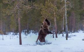 Обои кадр, сосны, снег, медведь