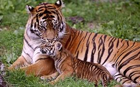 Обои малыш, тигры, мама, тигрица, тигрёнок