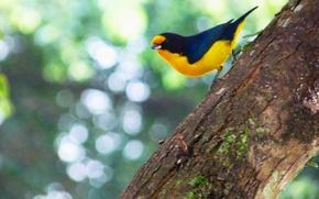 Картинка Black, Yellow, Bird, Branch, Gaturamo