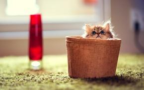 Обои фокус, кошка, комната, Daisy, ковер, корзинка, котенок, кот