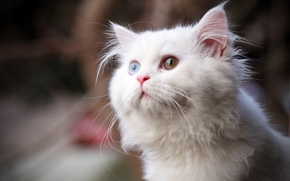 Картинка кошка, взгляд, пушистый, белый, глаза, кот