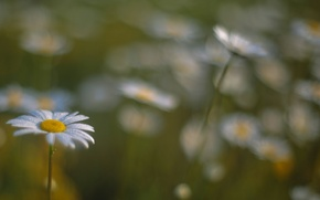 Картинка боке, поле, цветы, размытость, Ромашки