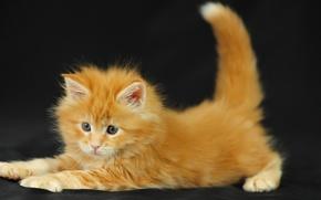 Обои кот, пушистый, Котенок, рыжий
