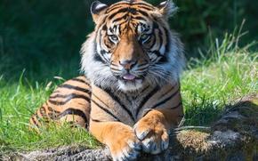 Обои язык, морда, тигр