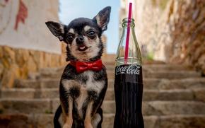 Картинка бабочка, бутылка, собака, лестница, ступеньки, чихуахуа, кока-кола, пёсик, собачонка