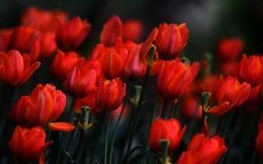 Картинка цветы, весна, тюльпаны, красные, клумба