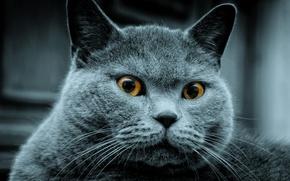 Обои увидел, кого-то, серый, кот