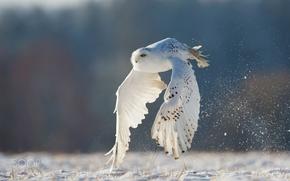 Обои сова, полярная, белая, полет, зима