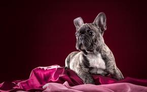 Картинка собака, щенок, французский бульдог