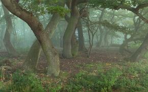 Картинка лес, деревья, дубы, в тумане, колдуны, что то, шепчут