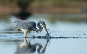 Картинка bird, water, lake, reflection, wildlife, fishing, heron, hunting