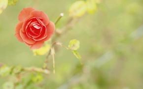 Картинка роза, цветок, природа