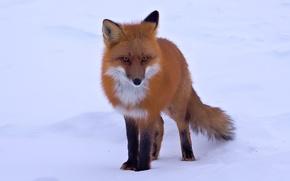 Картинка снег, лиса, рыжая