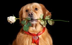 Картинка взгляд, друг, роза, собака