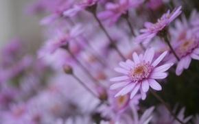 Картинка цветы, ромашки, розовые, много
