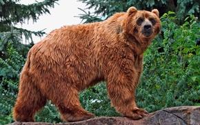 Картинка взгляд, вода, медведь