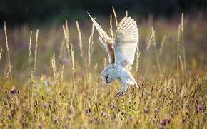 Картинка поле, лето, природа, сова, птица