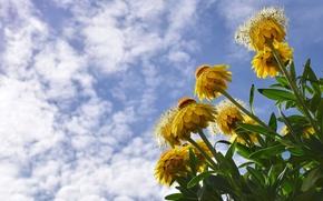 Картинка небо, облака, желтый, бессмертник