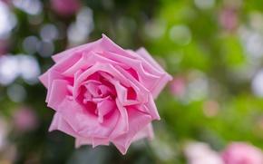 Картинка макро, природа, роза, лепестки