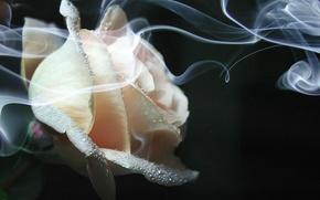 Картинка дым, роза, Цветок, кремовая