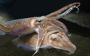 Картинка underwater, sea, ocean, tenderness, cuttlefish, squid
