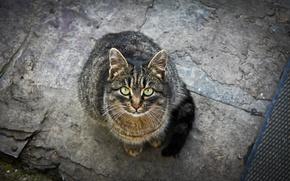 Картинка кошка, взгляд, Кот, зелёные глаза