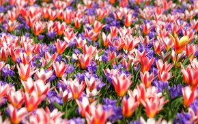 Картинка ковер, весна, крокусы, тюльпаны, пестрый