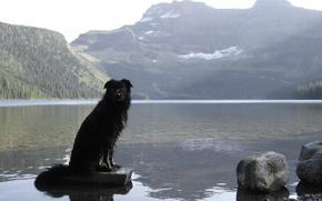 Картинка Canada, Dog, Cameron Lake, Waterton National Park, Waterton, Border Collie, Alberta