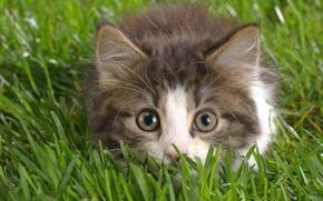 Обои трава, глаза, взгляд, котенок