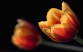 Картинка макро, черный, тюльпаны