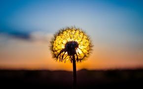 Картинка солнце, макро, закат, природа, одуванчик, растение