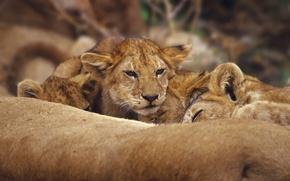 Обои кошка, лев, львы, лева