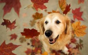 Картинка собака, друг, листья
