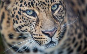Картинка морда, хищник, леопард, дикая кошка