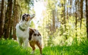 Картинка взгляд, друг, собака, australian shepherd