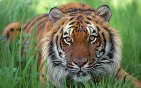 Обои трава, полоски, тигр