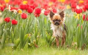 Картинка природа, собака, тюльпаны