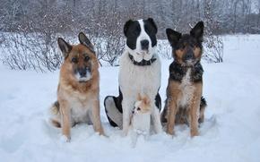 Картинка зима, собаки, снег, друзья, чихуахуа, овчарка, алабай