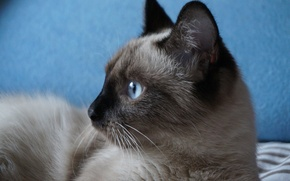 Картинка кошка, усы, взгляд, фон, красавица, глаза