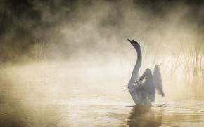 Картинка туман, озеро, лебедь