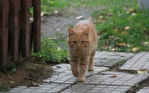 Картинка кот, взгляд, кошки, животное, деревня, рыжий, прогулка
