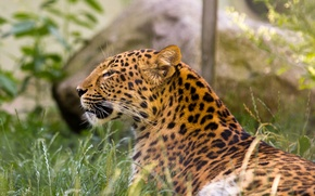 Картинка кошка, трава, леопард, амурский