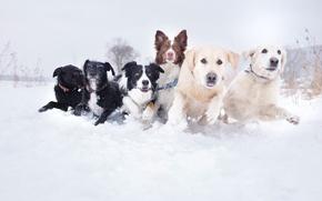 Картинка собаки, снег, фото, бег, сугроб, разные, морды, порода, dogs, свора, Stodulko