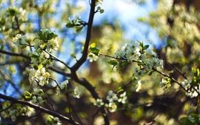 Картинка цветы, ветки, вишня, весна, боке