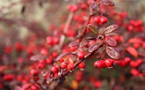 Картинка осень, капли, макро, ягоды, дождь, berry, rain, macro, drops, fall