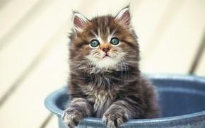 Обои котенок, пушистый, маленький, в ведре
